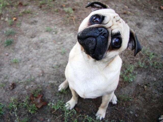 Pug_Dog